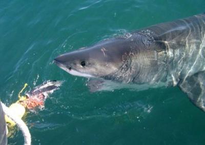 Одни говорят, о том, что акул привлек прикорм рыб вблизи египетских...